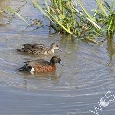 Chestnut Teal © D. Hards