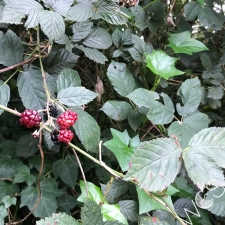Blackberry canes and berries